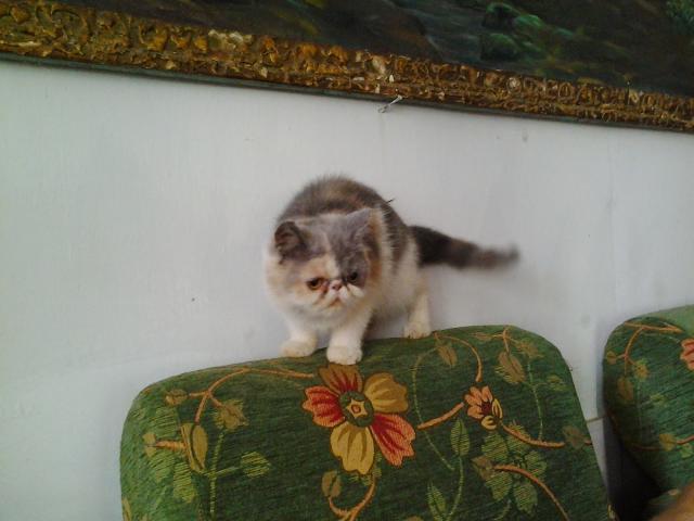 Foto: Jual Kucing Persia And Exotic