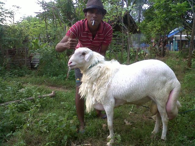 Foto: Jual Domba Sapudi Asli